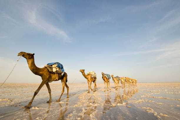one of the last salt caravans, danakil desert, ethiopia - horn of africa stock photos and pictures