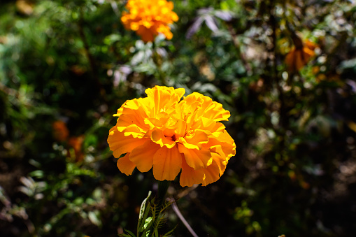 One orange flower of tagetes or African marigold flower in a a garden in a sunny summer garden, textured floral background photographed with soft focus
