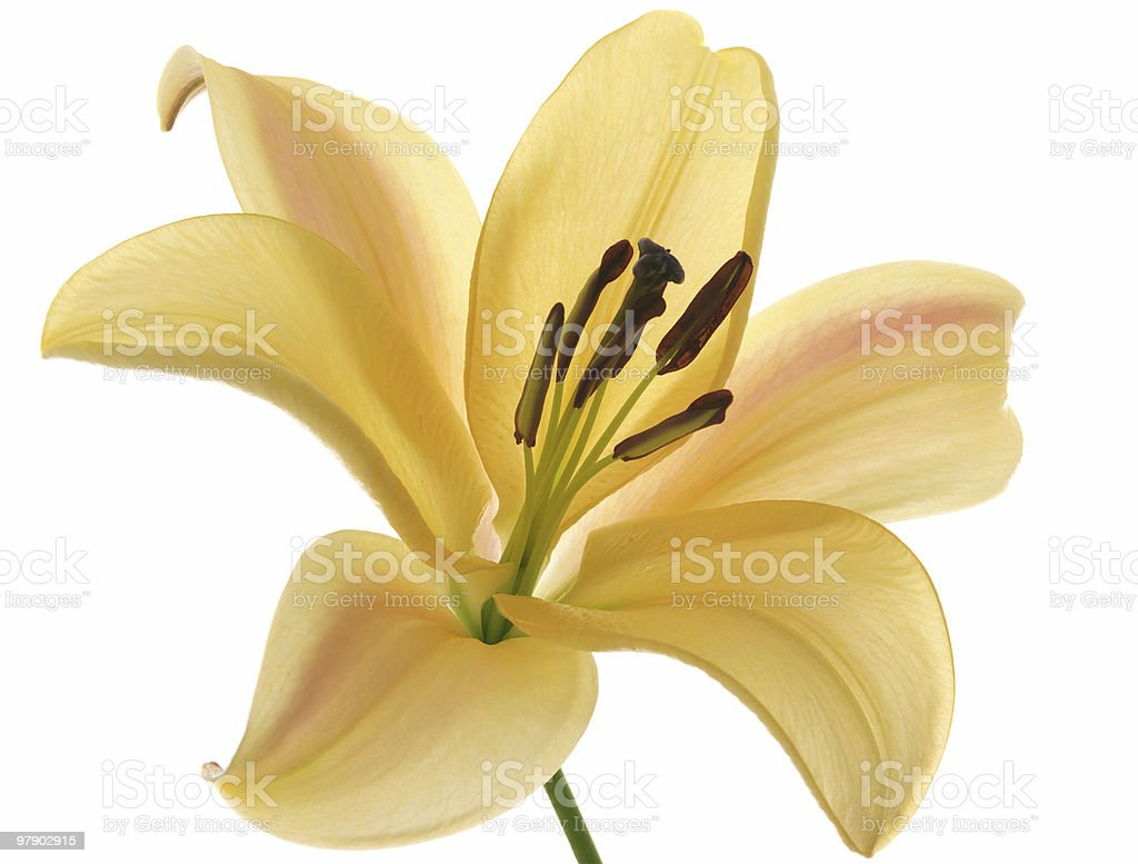 One orange lilies royalty-free stock photo