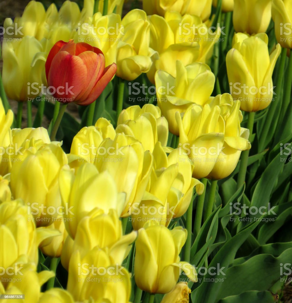 One orange tulips among many yellow tulips in a field royalty-free stock photo