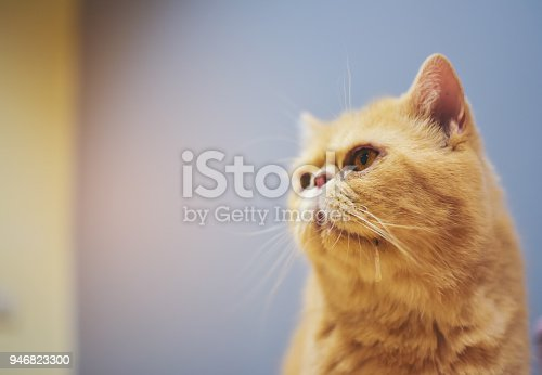 One orange yellow cat is drooling out of his mouth and looking at what he wants.This image soft focus.