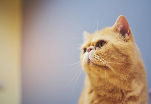 Eine orange gelbe Katze ist aus seinem Mund sabbern und schauen was er will. Dieses Bild Weichzeichner. – Foto