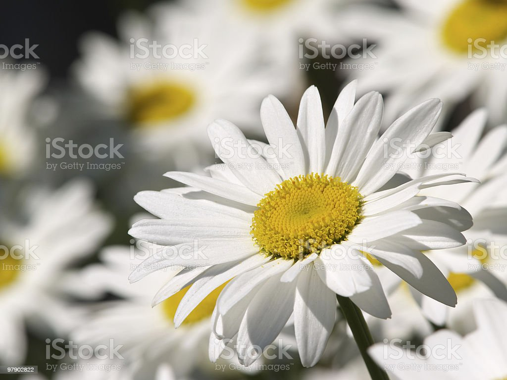 One ox-eye flower royalty-free stock photo