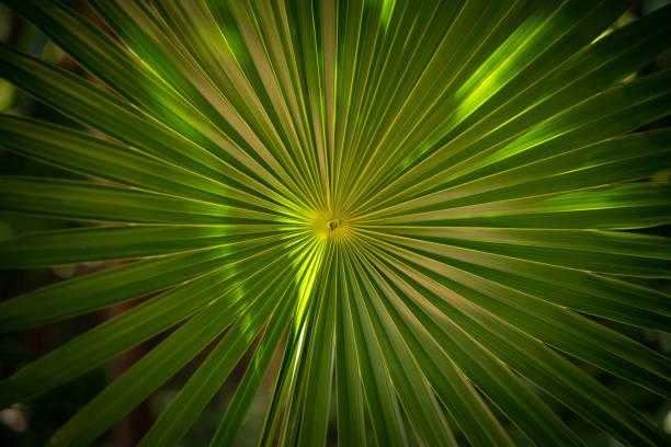 One palm leaf frontally macro stock photo