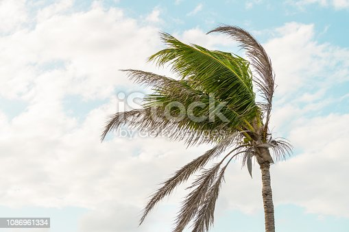 One palm tree swaying, moving, shaking in wind, windy weather in Bahia honda key in Florida keys isolated against blue sky at sunset, dusk