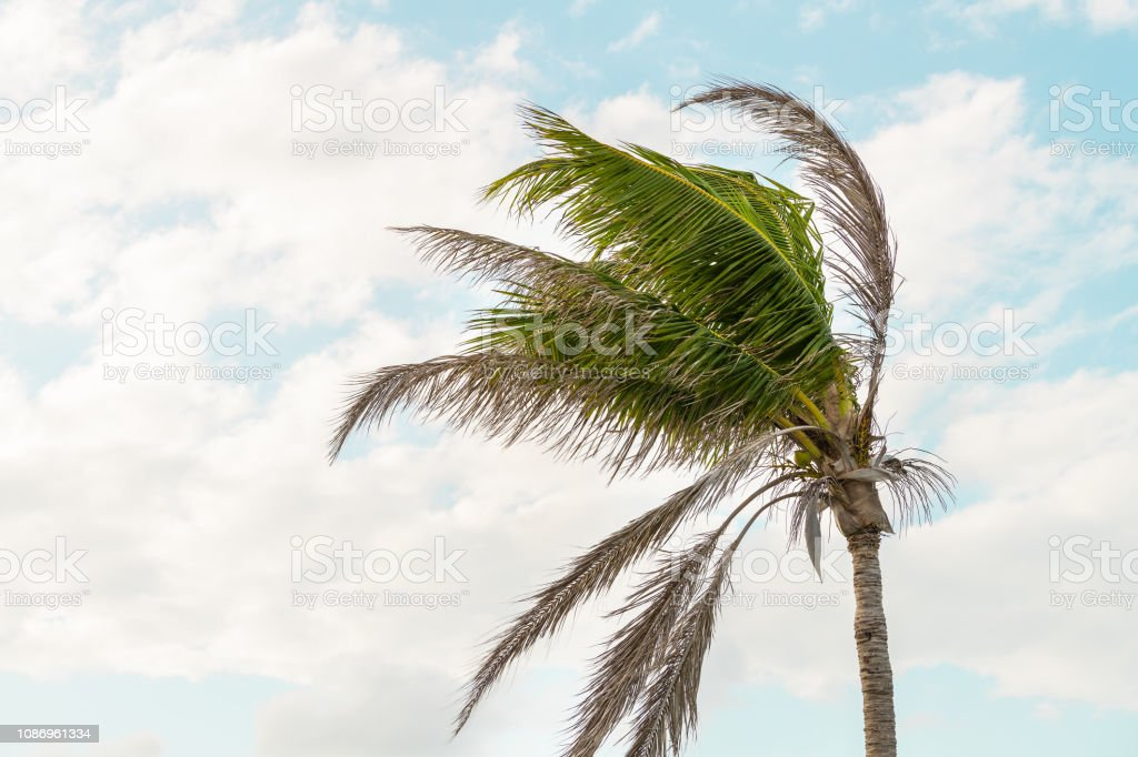 One palm tree swaying, moving, shaking in wind, windy weather in Bahia honda key in Florida keys isolated against blue sky at sunset, dusk stock photo