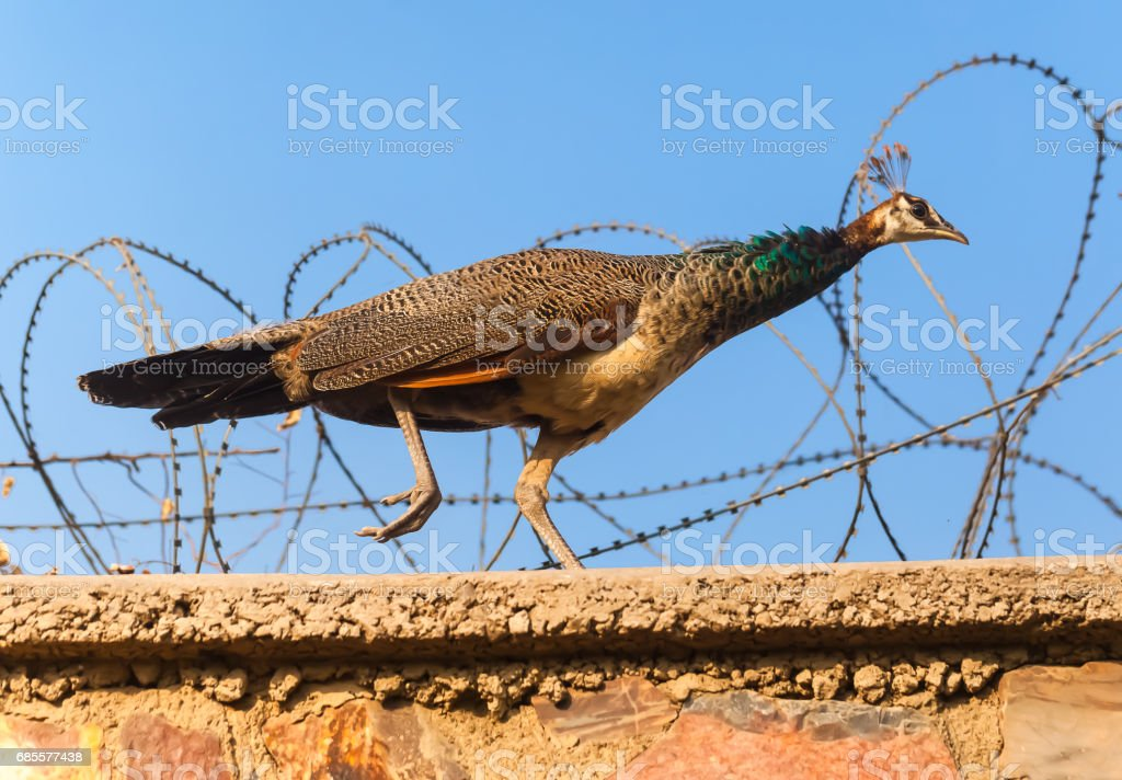 One peacock goes on a building wall India 免版稅 stock photo