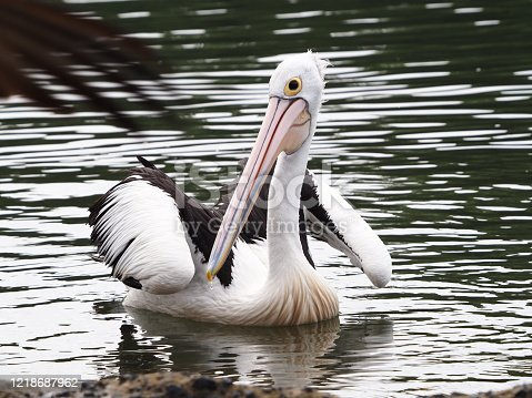 Closeup photo of a single wild pelican swimming in the rippled water of the Brunswick River in northern NSW Australia