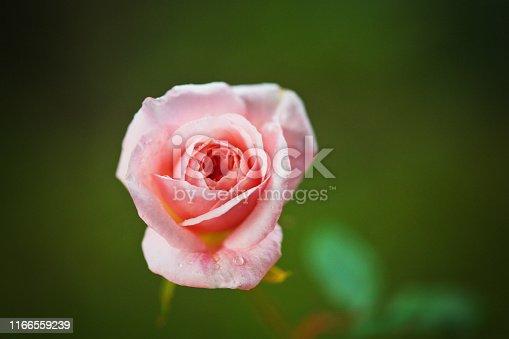 A single perfect pink Cecile Brunner rosebud.