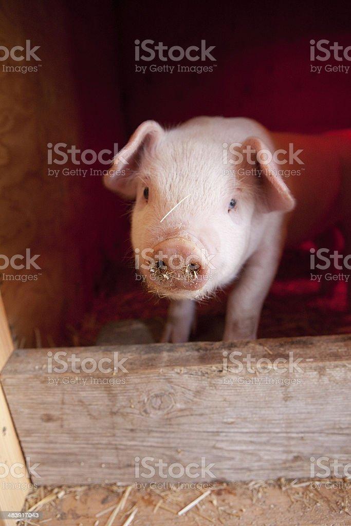 One Piglet stock photo
