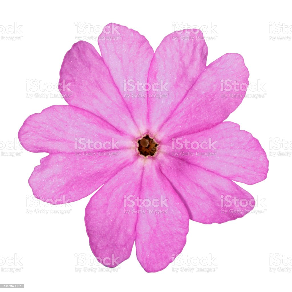 One Pink Primrose Flower Isolated On White Background Stock Photo