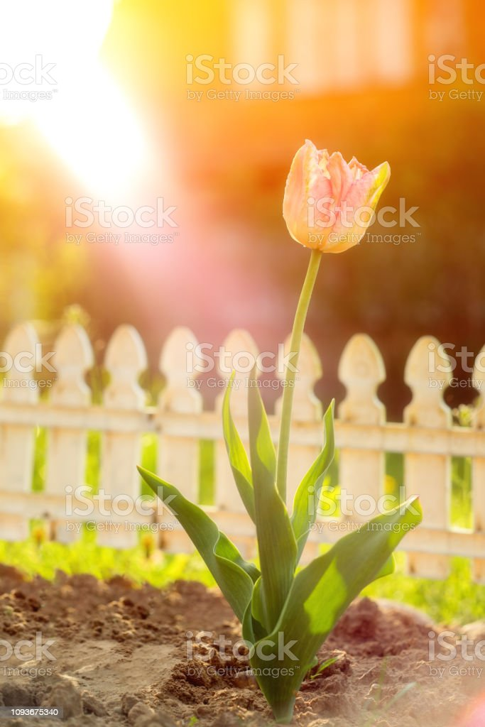 One pink tulip flower in garden decoration home at sunset , blurred ,...