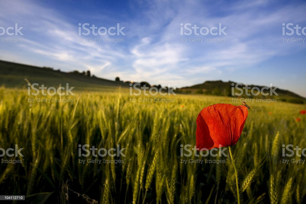 One poppy royalty-free stock photo