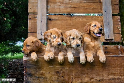 Four Gold Colored Puppies In a Wooden Box with One Sulking