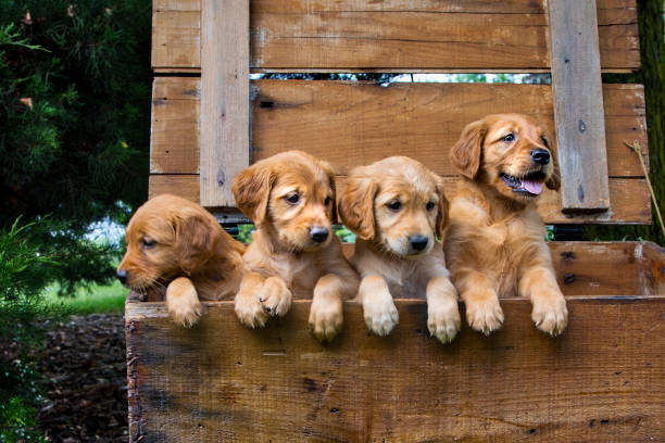 one pouting sulking puppy and three content puppies - puppy stock pictures, royalty-free photos & images