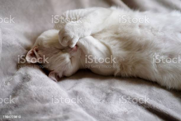 One pure white cat covering its mouth by paws and laughing picture id1164223810?b=1&k=6&m=1164223810&s=612x612&h=qrw v4tc1rold0y2l2papdn2k3589szrl3rvoi8eiba=