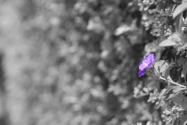 One purple flower inside a hedge - foto stock