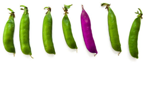 One purple pea among six green pods lined up in a row, isolated on white background stock photo