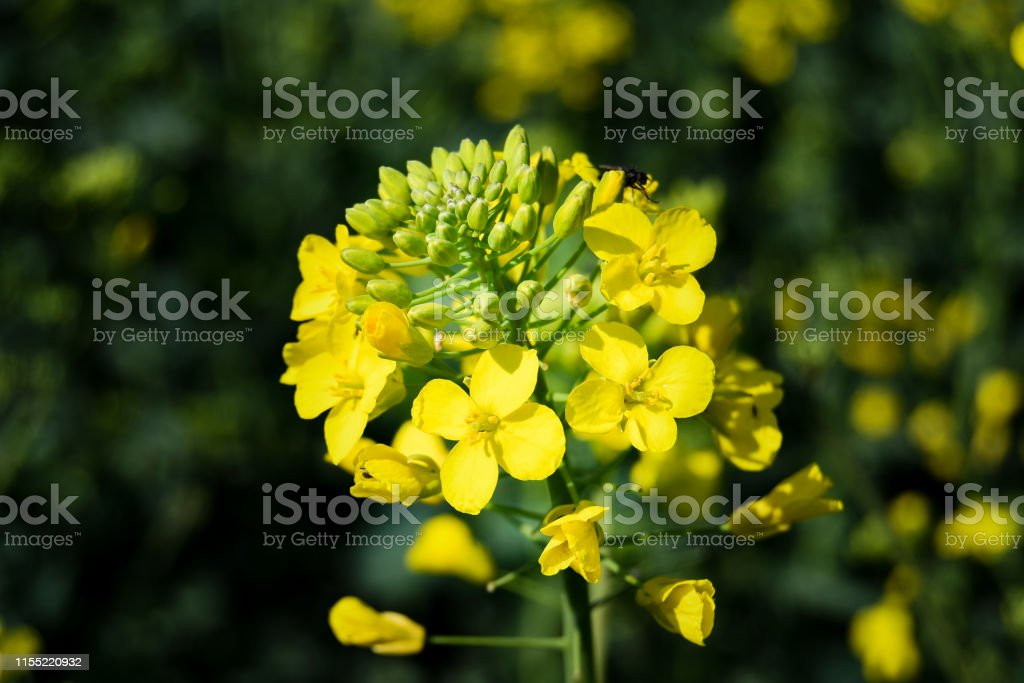 Eine Vergewaltigung gelbe Blume - Lizenzfrei Agrarbetrieb Stock-Foto
