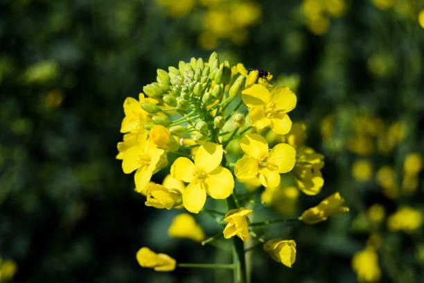 One rape yellow flower stock photo