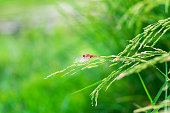 one red dragonfly hanging on ripe rice plant nature green background, Insect in rice field.