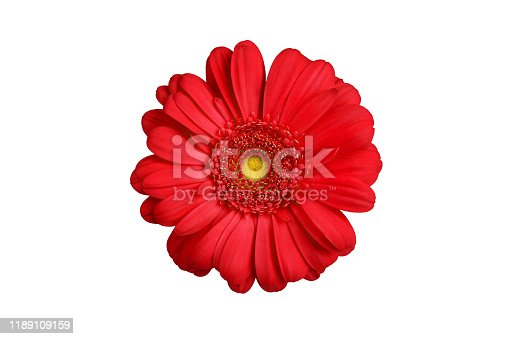 One red gerbera flower on white background isolated close up, orange gerber flower, scarlet daisy head top view, romantic greeting card decoration, decorative design element, botanical floral pattern