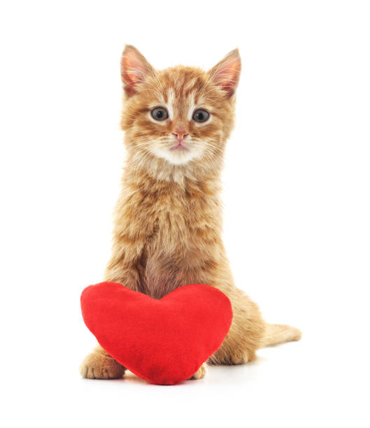 One red kitten with a toy heart picture id1080318454?b=1&k=6&m=1080318454&s=612x612&w=0&h=gvnbvo1cwornn1rwzpwo5tulhj2x3cihwpq7ubco7oo=