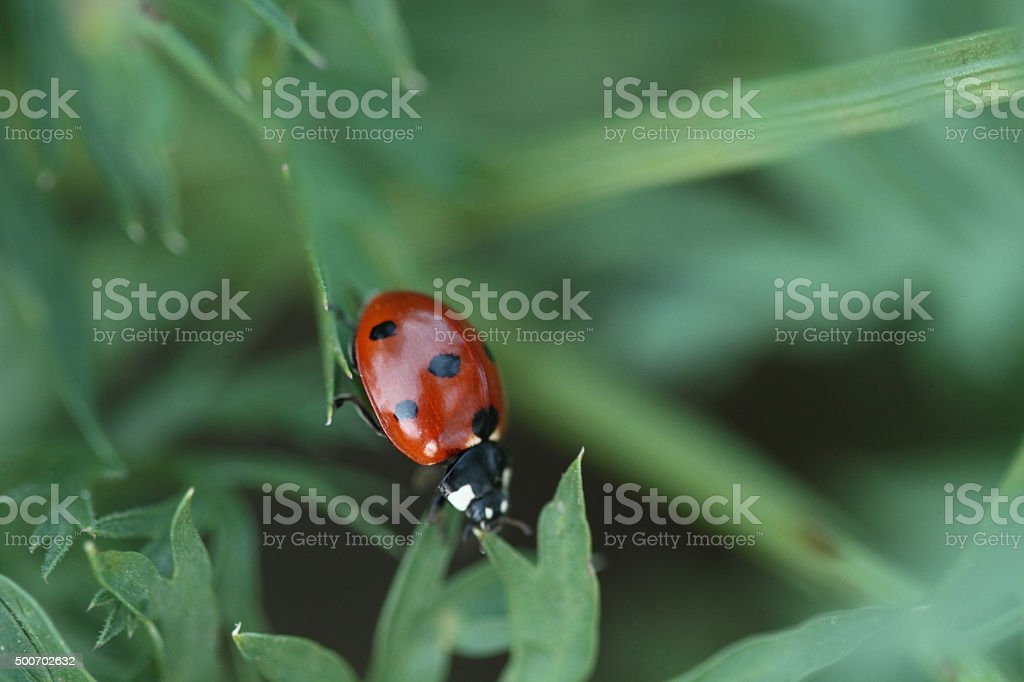 One red Ladybird on a grass stock photo