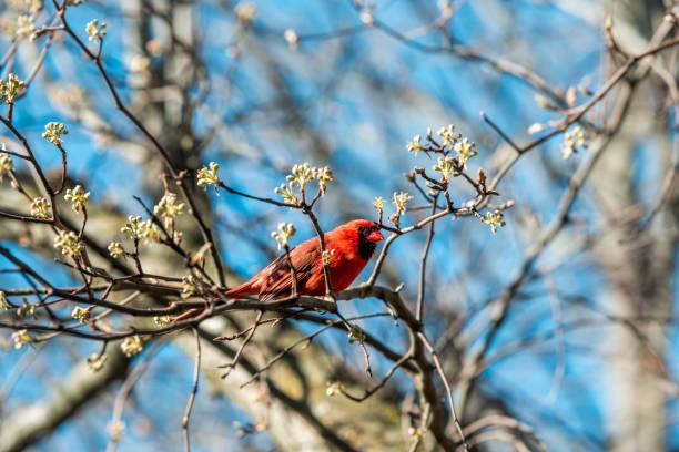 Um pássaro Cardinal do Norte vermelho cardinalis que senta-se empoleirado no ramo de árvore da flor de cereja na estação da Primavera de Virgínia - foto de acervo