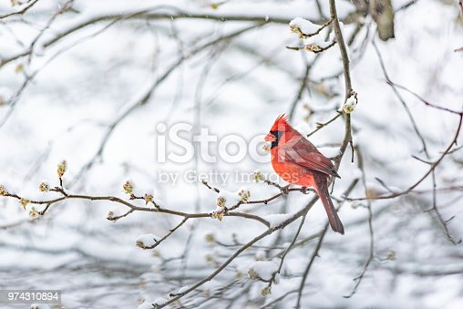 One red northern cardinal, Cardinalis, bird sitting perched on tree branch during heavy winter snow colorful in Virginia, snow flakes falling eating flower leaf buds