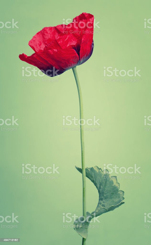 One red poppy flower on trendy green background stock photo
