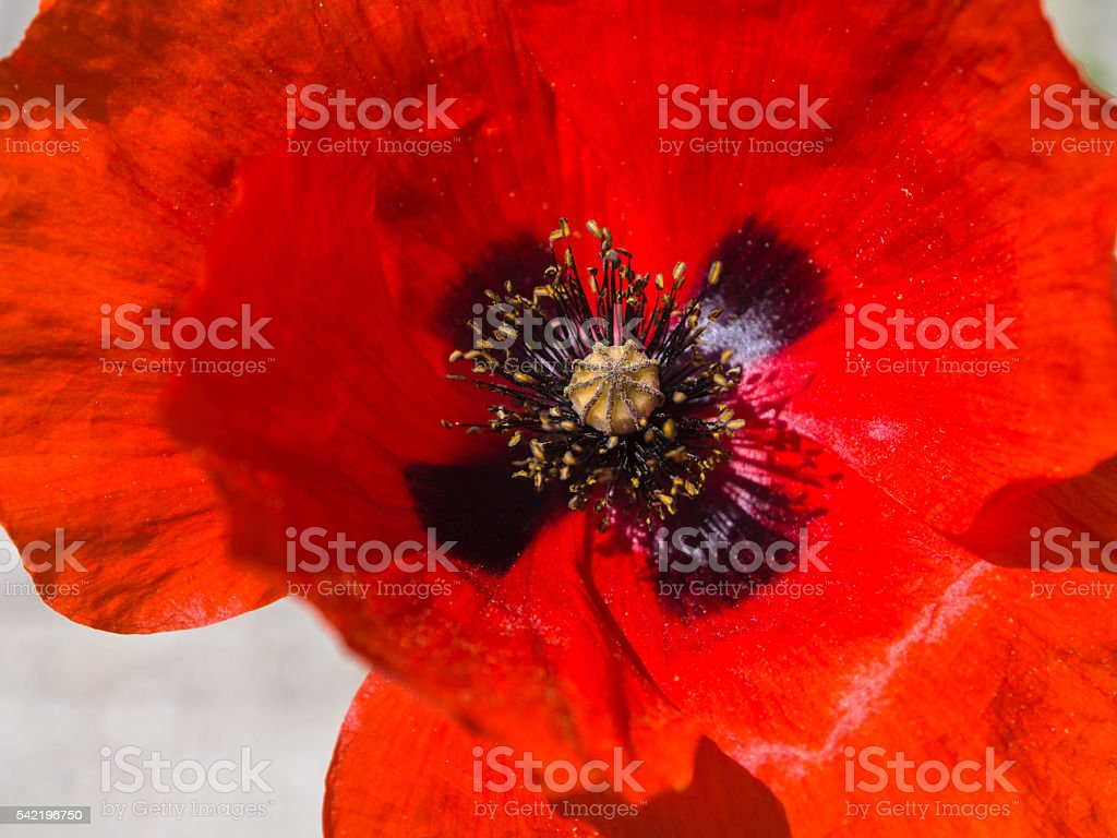 One red poppy isolated on white background - foto stock