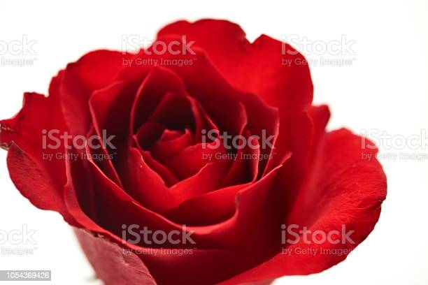 One red rose flower head on white background cutout picture id1054369426?b=1&k=6&m=1054369426&s=612x612&h=hmsp4mokpvstiol1xvqpe0x0g6kwz7q6ad1teqzds4w=