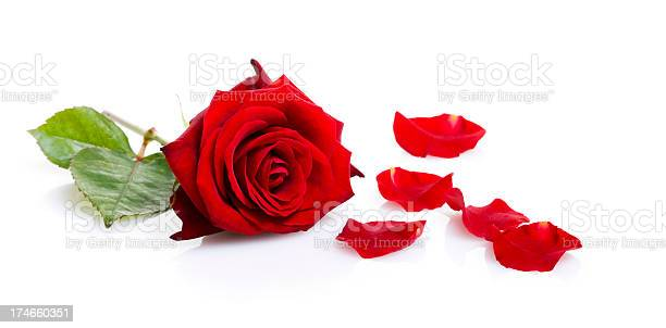 One red rose isolated on white picture id174660351?b=1&k=6&m=174660351&s=612x612&h=owdqokayxmczfwq  t2wo10eocg93uu5vl2ea7w8zgg=