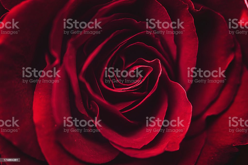 One red rose stock photo