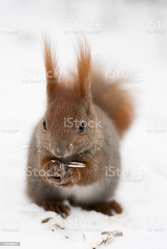 One Red Squirrel Eating in Snow. royalty-free stock photo