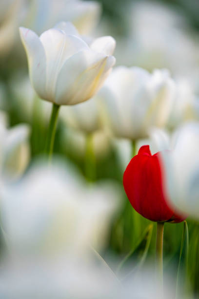 One red tulip surrounded by white tulips stock photo