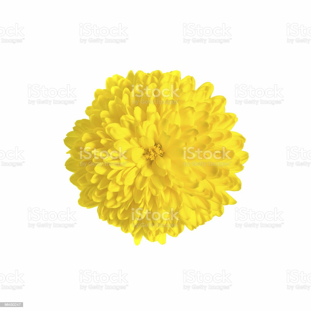 One rich yellow chrysanthemum royalty-free stock photo