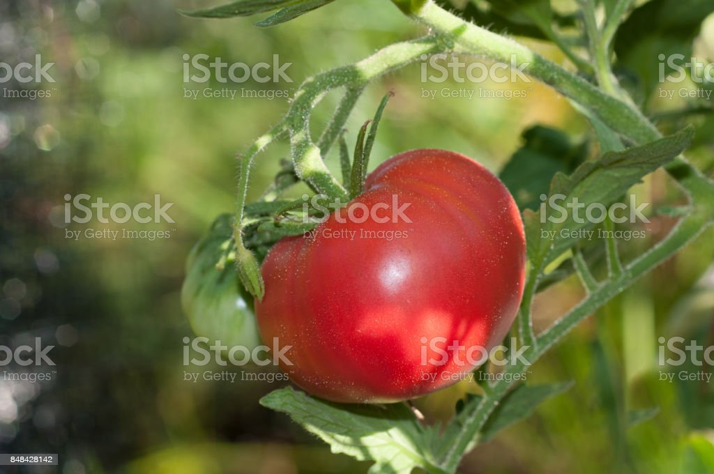 One ripe red heirloom tomato on the vine. stock photo