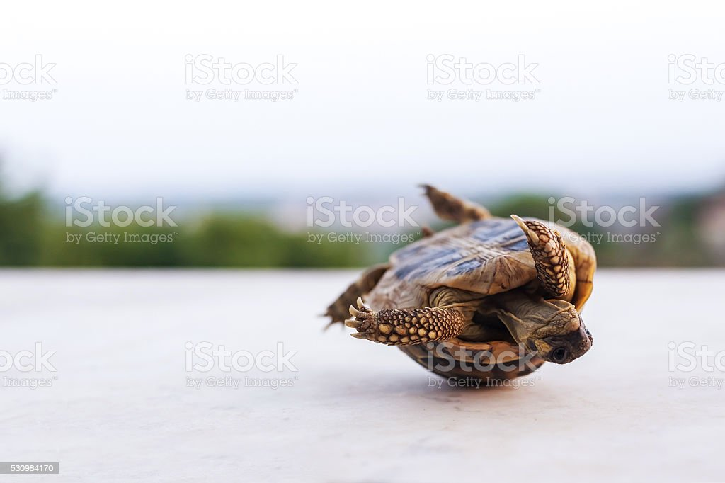 one rolling turtle stock photo