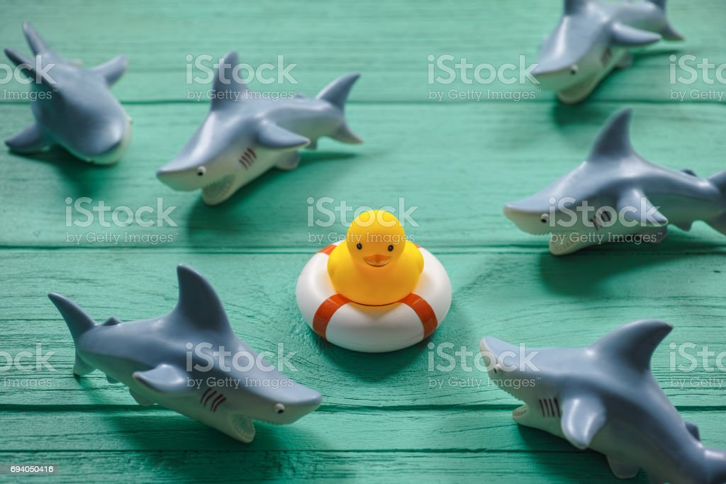 One rubber duck on an old turquoise wooden table on a safety inflatable ring whilst ferocious rubber sharks circle the duck. stock photo
