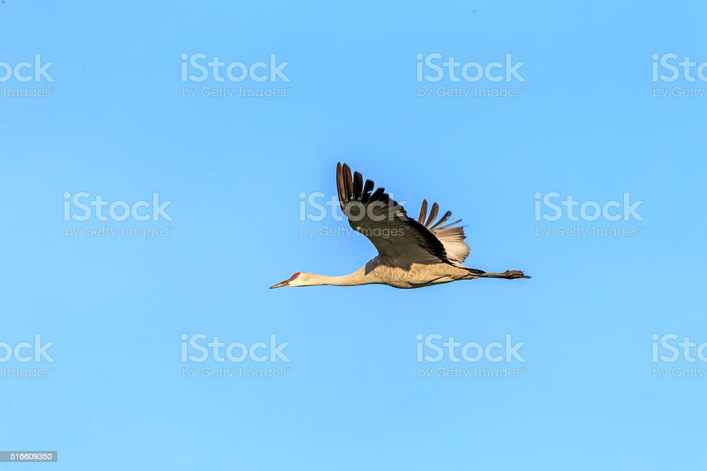 One Sandhill Crane Flying, California, USA 600mm lens. Canon 1Dx.