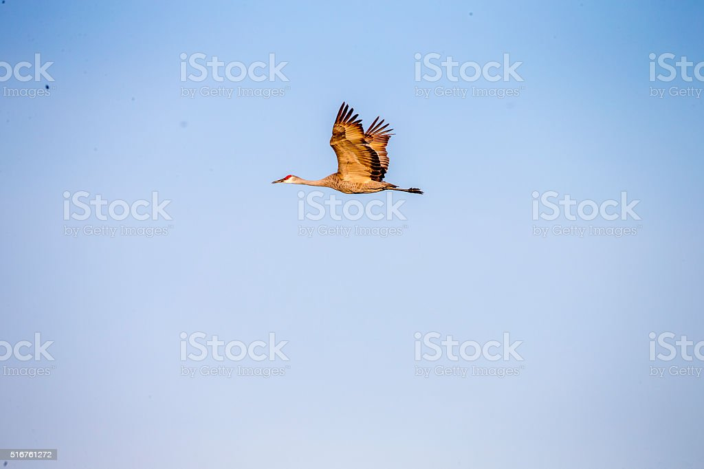 One Sandhill Crane Flying, California, USA 600mm lens. Canon 1Dx.