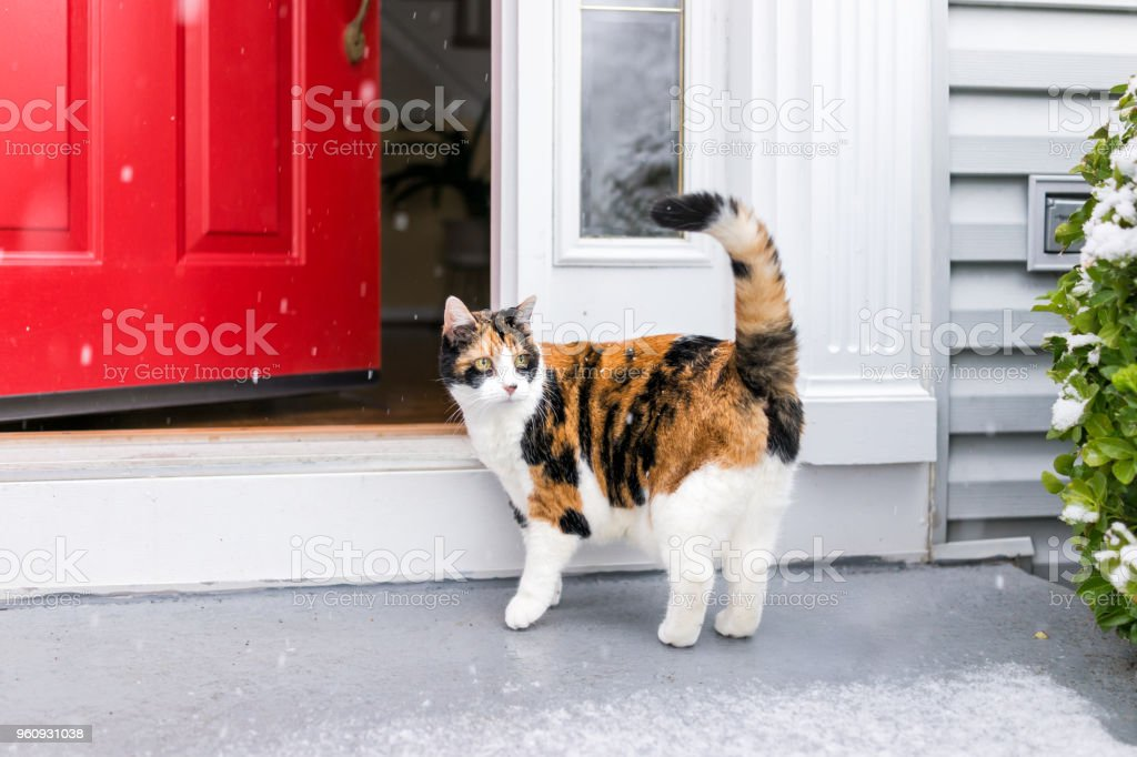 One scared confused calico cat standing outside in winter by stairs on front yard porch by door entrance to house during blizzard white storm, snowflakes falling stock photo