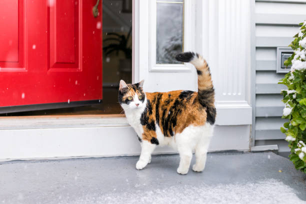 One scared confused calico cat standing outside in winter by stairs on front yard porch by door entrance to house during blizzard white storm, snowflakes falling One scared confused calico cat standing outside in winter by stairs on front yard porch by door entrance to house during blizzard white storm, snowflakes falling tortoiseshell cat stock pictures, royalty-free photos & images