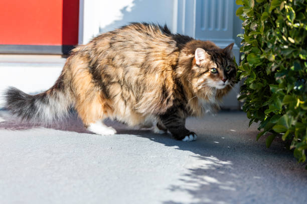 One scared fearful fear calico maine coon cat standing outside by red picture id971594218?b=1&k=6&m=971594218&s=612x612&w=0&h=aes4i 3ge0qfqdls1r jpqzfgt1ziasvzcbfg2wverm=