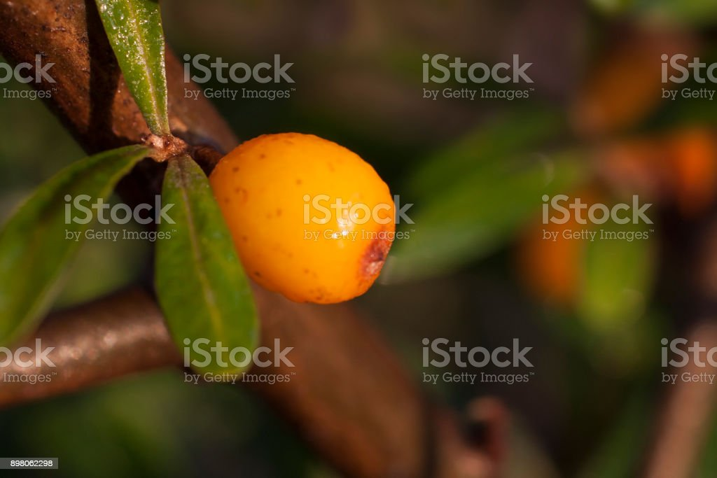 One sea berry close up stock photo