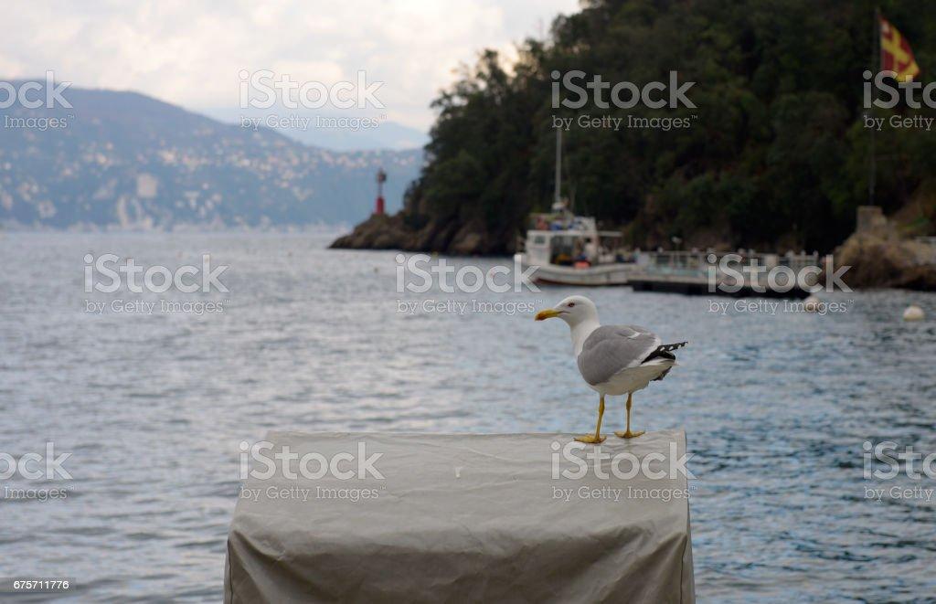 One seagull at Portofino 免版稅 stock photo