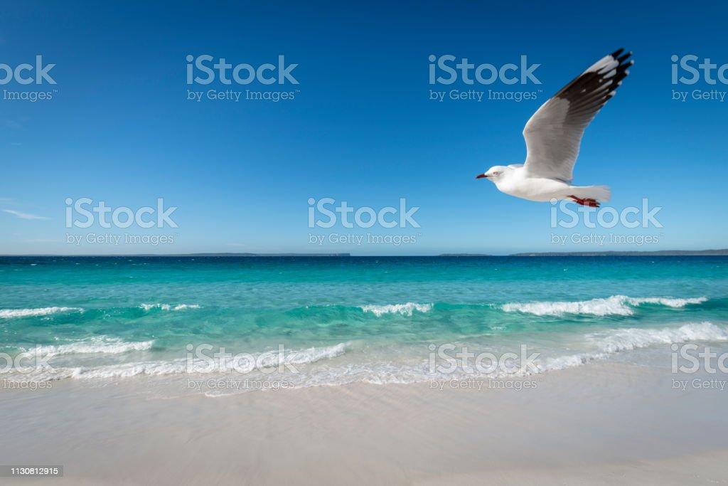 One seagull flies over pristine Hyams Beach, South Coast, New South Wales, Australia stock photo