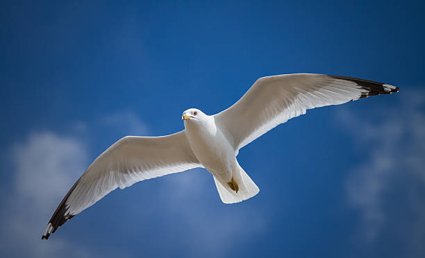 One seagull flying in the blue sky stock photo